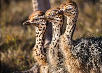 20161021_ellies-and-ostrich-chicks_0660