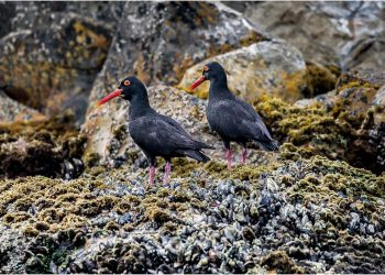 oyster-catchers-on-seal-island