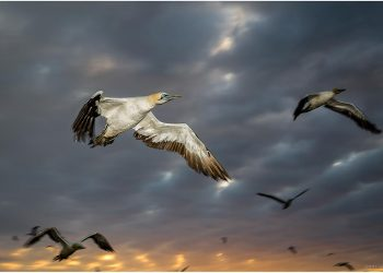 gannet-flash-flight