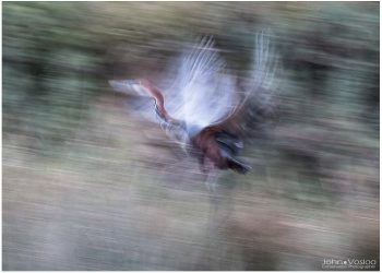 goliath-heron-study-in--movement