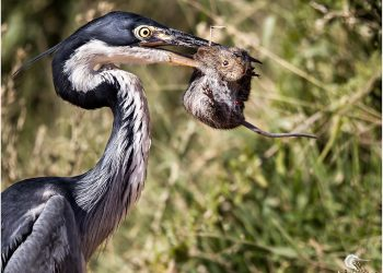 heron-mouse_0972