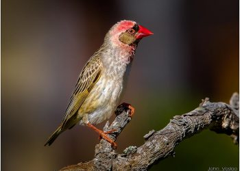 malr-red-billed-quelera