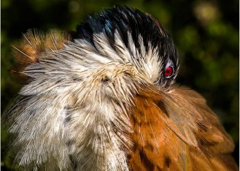 preening-coucal