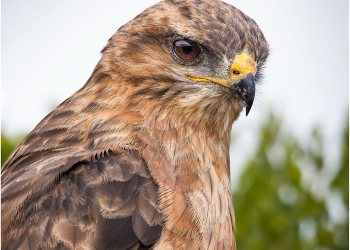 steppe-buzzard_0023