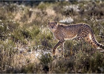 MZP-Winter-2016-cheetah-cub