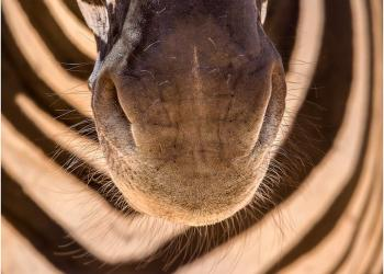 Zebra-mouth_0130