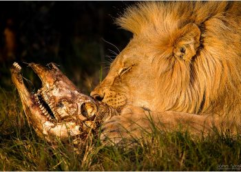 lion-with-waterbuck-head