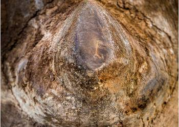 rhino-horn-close-up